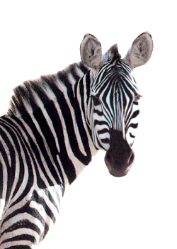 Post image for Black and White Zebra Sheets for All Ages